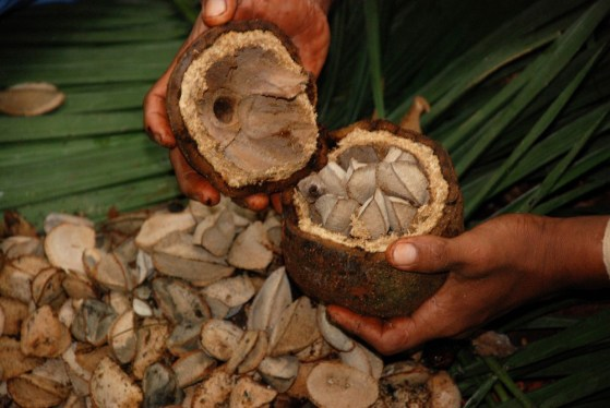 Cancer Preventative: Two Brazil Nuts a Day, big nut casing, pod, fruit pod, food timing, superfood, raw food, gluten-free, paleo, toxic levels, research studies, nut cracker, amino acid, mealtime, eating, healthy living, health benefits, natural medicine, wisdom, the earth is the Lord's, Creator, good fat, nuts, methionine, bee, selenium, Amazon rain forests, pristine forests, cancer-fighting, depleted soils, low blood levels, snacks, phytates, cancer of the ovary, breast, prostate, rectum, colon, esophagus, stomach, liver, lungs, lymphatic system, phytic acid, anti-nutrient, ultra trace mineral, soaking nuts, soaking beans,