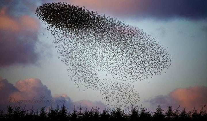 Murmuration ~ Not-So-Rare Winter Spectacle, quotes, Matthew 6: 26, photography, Gretna in Scottish borders, birds of the air, swirling patterns, flight, George Washington Carver, Dylan Winter, Keep Turning Left, starling behavior, flocks, UFOs, winter display, peregrine falcon predator, bird phenomenon, nature facts, creation,