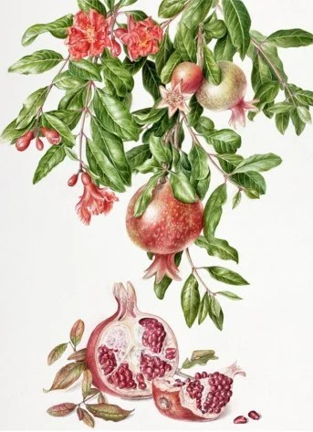 Research: Pomegranate Juice Reverses Heart Blockage, inhibit breast cancer, prostate cancer, colon cancer, leukemia, vitro studies, anti-cancer effect, Mayo Clinic, Dr. Mercola, blood vessels, potent antioxidant compounds, platelet aggregation, naturally lower blood pressure, prevent heart attacks, strokes, severe carotid artery blockage, REVERSAL in atherosclerotic plaque, cardiac arrest, health benefits, research, studies, #1 cause of heart disease, super fruit, superfood, berry, juice, big pharma, juicy seeds, astringent, epithelial cells, mucous membrane, astringent, cleaning the mouth, arteries, veins, drinking pomegranate juice, circulatory system, our true hope, Dr. Fuhrman, sweet tart taste, botanical print