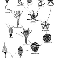 Octopus Water Vascular System Diagram Arlec Motion Sensor Light Wiring Veins Of The Evolution Echinoderm From