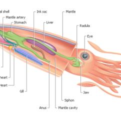 Labeled Squid External Anatomy Diagram Round 4 Way Trailer Wiring Rocket Science | Deep Sea News