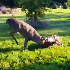 Aluminum Outdoor Chairs Benchmaster Chair And Ottoman Buck Fight: Locked Antlers, Angry Bucks A Fight For Survival - Deer & Hunting ...