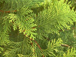 Cedar Leaves