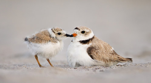 Cute Chibi Fox Wallpaper Piping Plover Basic Facts About Piping Plovers