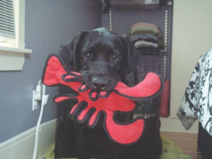 NEADS assistance dog AJ, in training with his lobster toy. Photo courtesy of NEADS.