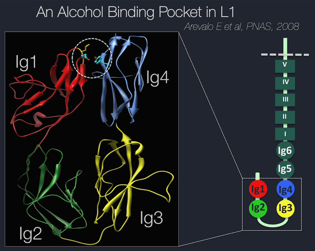 "A molecular model of the L1 alcohol ""sticky"" binding site, which is the area inside the dotted circle"