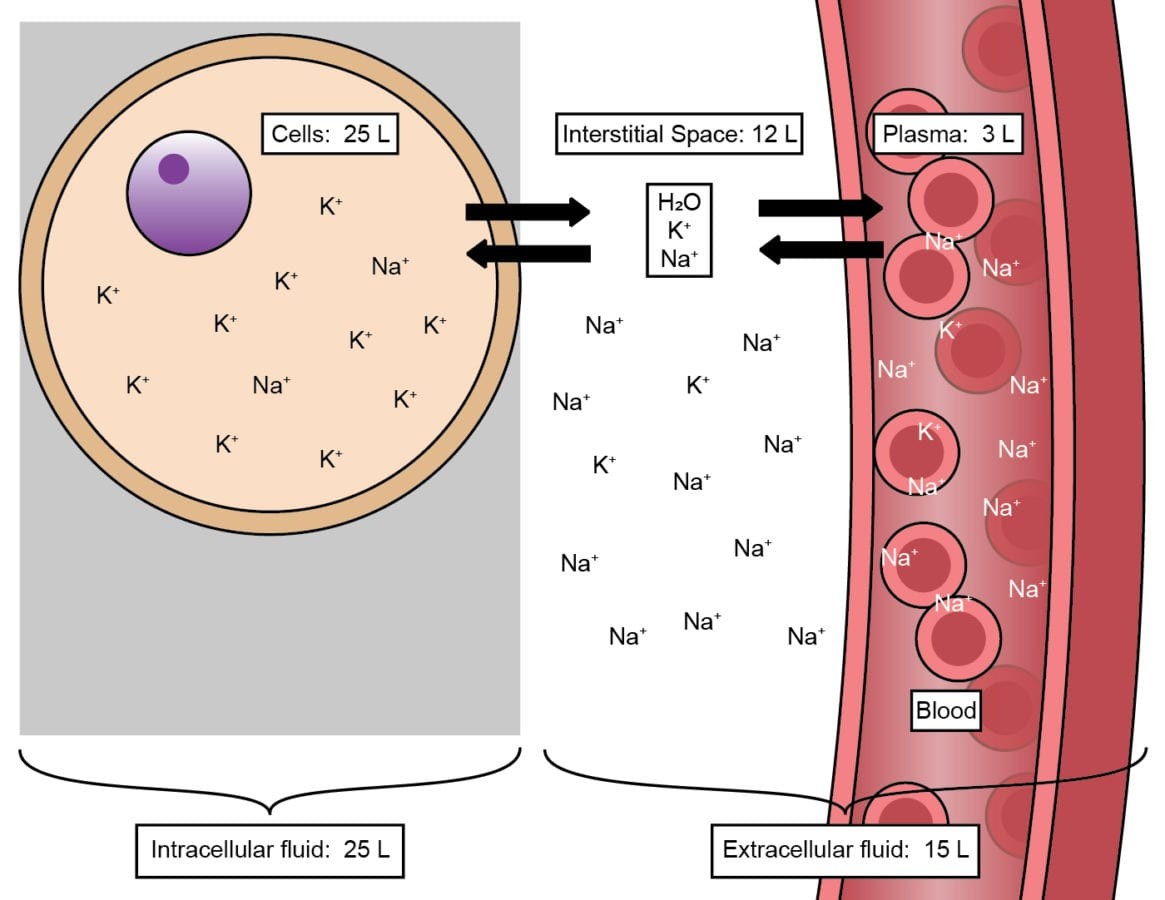 Potassium (K+) is mainly found within cells comprising tissues like muscles, brain, heart, and GI tract, which have lots of K+ in them. The blood/plasma has lots of sodium (Na+) in it. The interstitial space, which is outside of the cells, is in rapid equilibrium with the blood/plasma compartment. This means some K+ will enter the plasma with each contraction of the muscle (See Figure 1). Adapted from Adams, Holland, and Urban in Pharmacology for Nursing: A Pathophysiological Approach, 5th Edition.