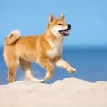 柴犬が海岸を走る
