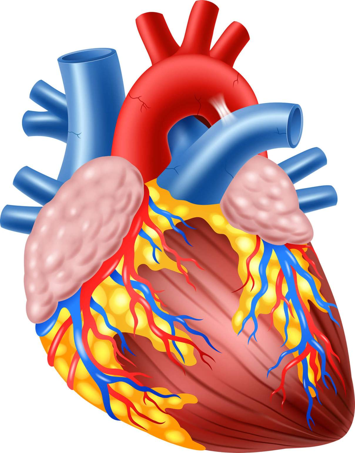 ▷ El Corazón Humano Anatomía, Función | ⊛ 【 Educándose En Línea 】