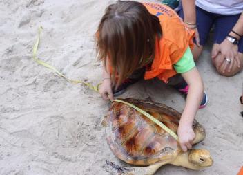 Alliberen a Cala Agulla una tortuga babaua