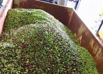 Son Servera recull més de 10 tones d'olives
