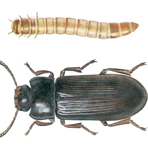 "<strong>Mealworm Beetle (<em>Tenebrio molitor</em>)</strong><br><br> <strong>Biology: </strong> The gleaming black-brown mealworm beetle is among the largest stored product pests with a body length of 13 to 18 mm. It occurs in bakeries, storehouses and flour mills, but also in human habitations, pigeon lofts and outdoors, especially in birds' nests. The larvae grow to a length of 28 mm, are yellow-brown and are the ""mealworms"" used as feed for fish, reptiles and birds. Both larvae and beetles feed on flour and other grain products as well as many other products derived from animals and plants.<br><br> <strong>Damage:</strong>  Larvae and beetles cause feeding damage and contamination damage to the affected products. The larvae also occasionally bore holes in rotten wood. With its long life cycle, this species does not generally tend to mass outbreaks, so that thorough cleaning and elimination of food residues should be sufficient to prevent a serious infestation."