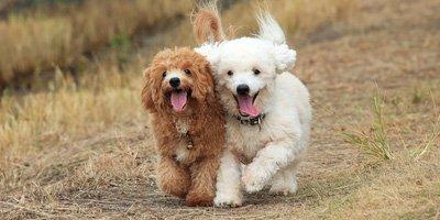 10 Populaire Hypoallergene Honden  De Honden Wereld