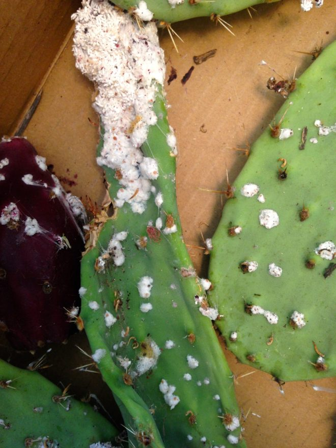 cochineal dye bugs on cactus