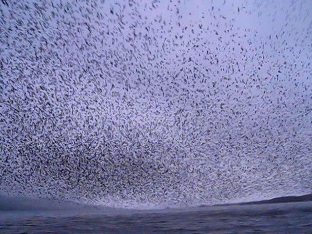 ein vogelschwarm
