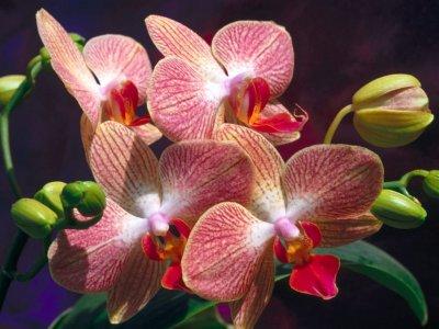Orquideas de jardín