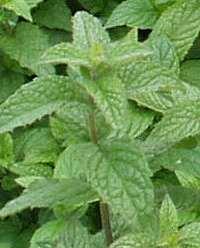 Plantas aromáticas en tu jardín