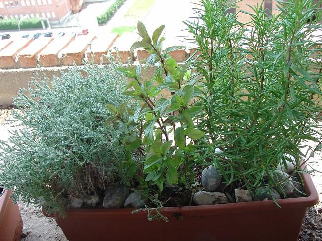 Cultivos archives - Plantas aromaticas jardin ...