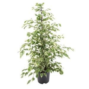Bonte Ficus