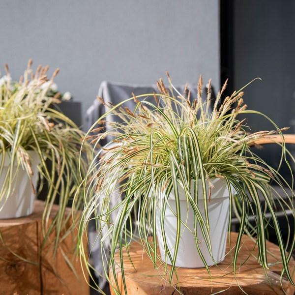 Dekbed Discounter Bontbladige Zegge ' Carex Evergold' accessoire: sierpot