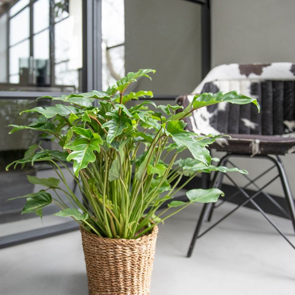 Dekbed Discounter Philodendron 'Xanadu' accessoire: siermand