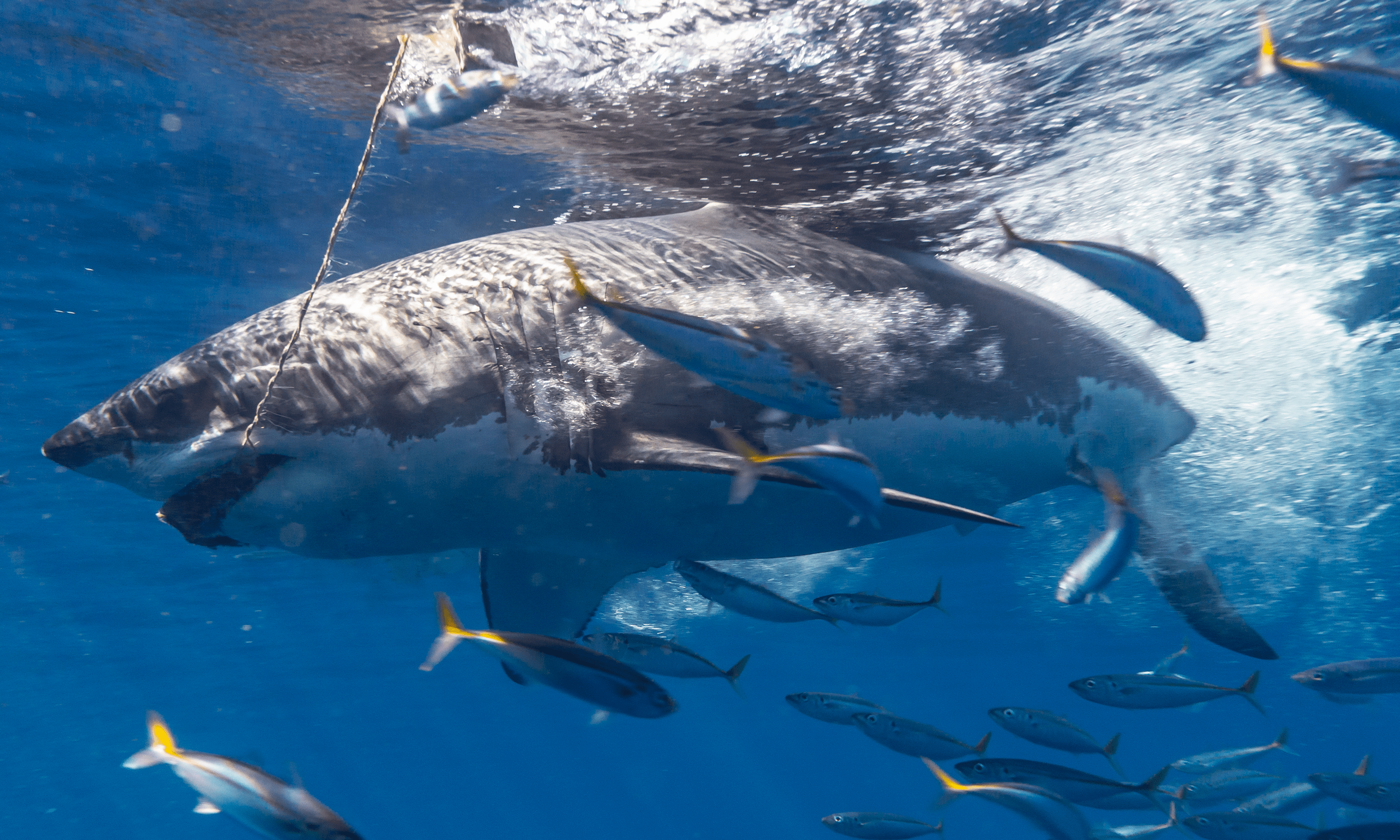We Dove With Great White Sharks A Deke Article