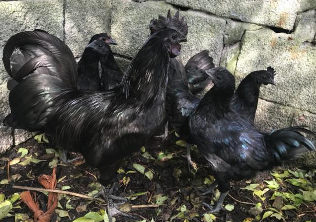 How many Ayam Cemani you should buy