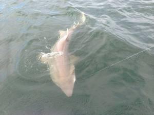 sand tiger shark, dsf, lewes delaware, prohibited sharks, shark fishing