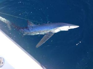 blue shark in Delaware, deep blue mayhem, shark fishing