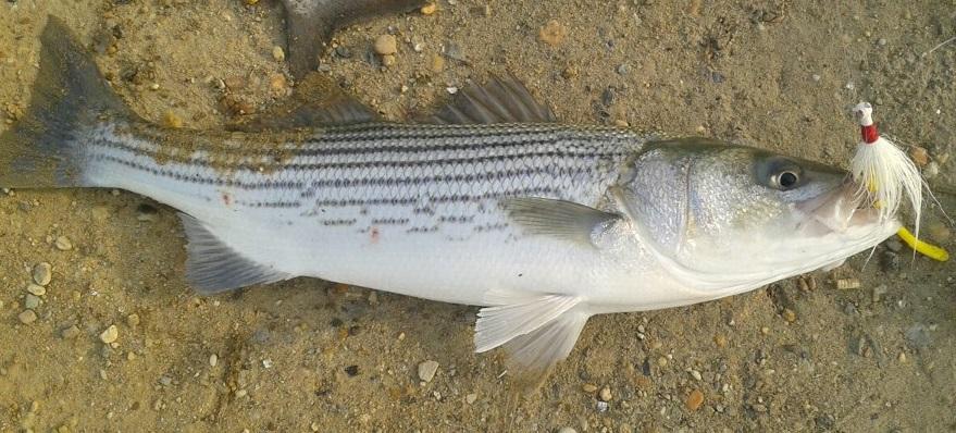 Delaware fish consumption advisories for Mass fishing regulations