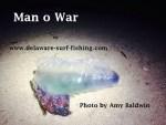 blue bottle, man o war, delaware, sussex county