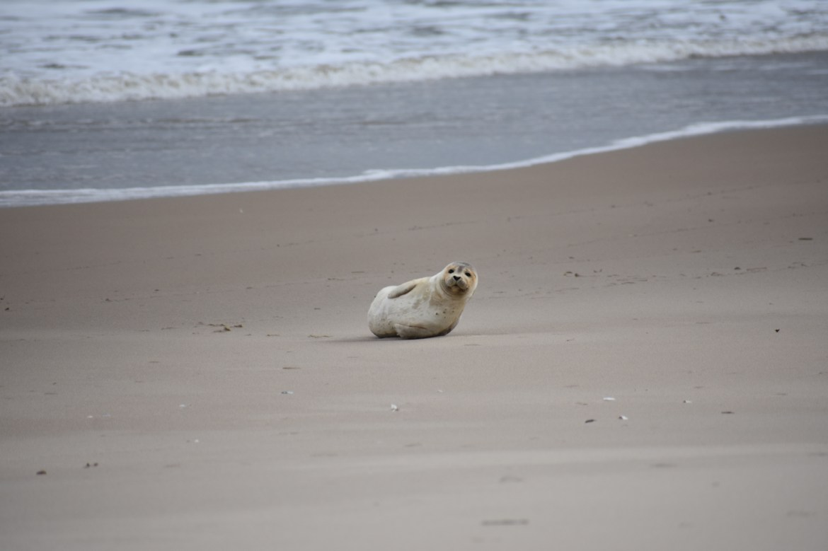 MERR institute, harp seal, delaware seashore state park, tower beach, migratory mammals, Marine Education Research Rehabilitation Institute, seals in delaware, sussex county