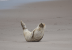 MERR institute, harp seal, delaware seashore state park, tower beach, migratory mammals, Marine Education Research Rehabilitation Institute, seals in delaware, sussex county