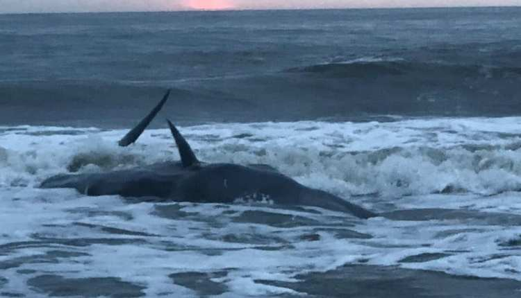 Live whale washed onto beach in Ocean City Maryland .. photo courtesy High Point Condominiums Facebook page