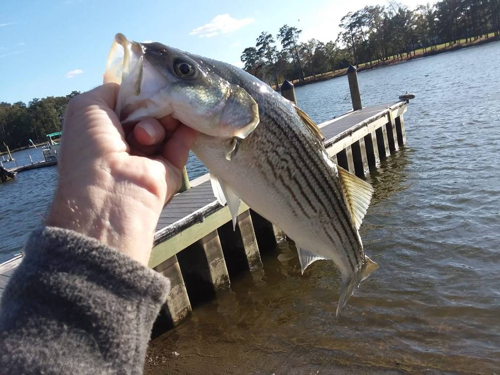 inland bays, delaware, striped bass, rat wrangling, sussex county