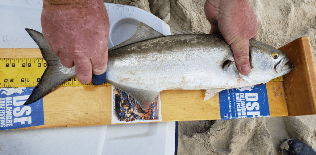 war on the shore, bluefish, calcutta, winning fish, surf fishing tournament, cape henlopen state park, delaware, sussex county, cape henlopen state park, herring point beach, gordons pond beach, rough seas, angry seas, fishbites, mullet rigs,