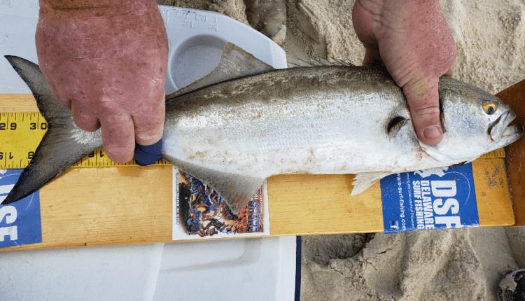 Scot Jost's winning bluefish