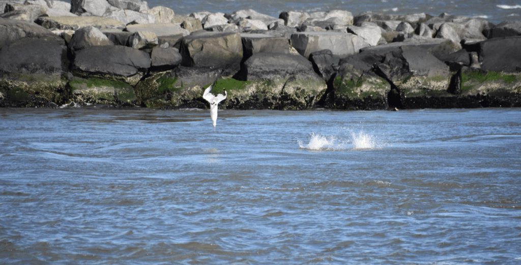 northern gannet, bunker, indian river inlet