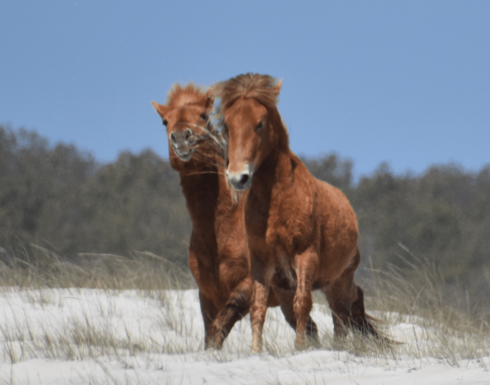 assateague horses, chincoteague ponies, maryland, assateague island national seashore