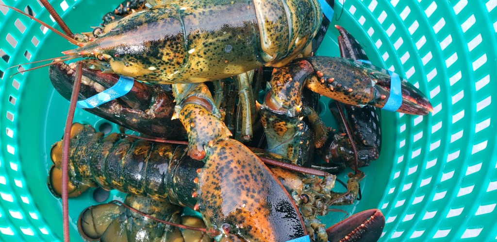 lobster, paka, commercial anglers of delaware, sussex county, indian river marina