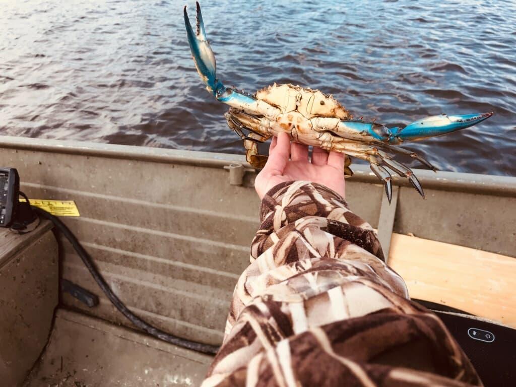 blue claw crab, delaware, inland bays, indian river bay, assawoman bay, rehoboth bay, hard crabs, crab rings