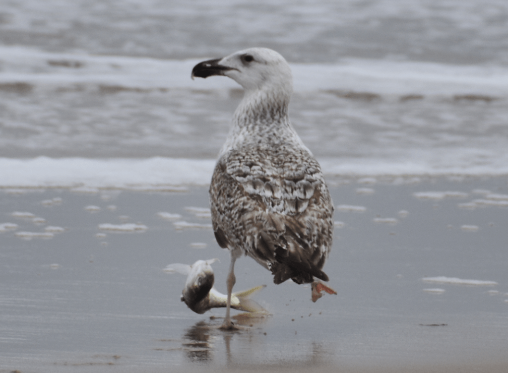 Great Black-Backed Gull, deaware surf fishing, sussex county, drive on beaches, delaware state parks, sea gul, shorebird, bunker, menhaden