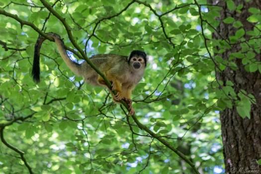 Standaard bewerkte aap