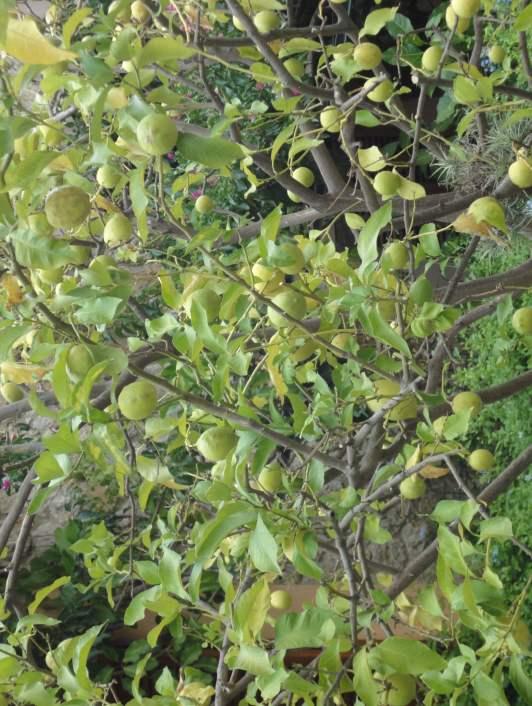 Zitronen auf Mallorca