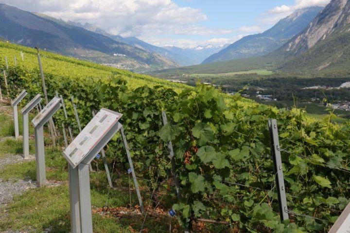 Rebsortensammlung am Weinwanderweg Sierre - Salgesch