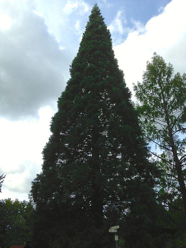 Mammutbaum beim Malmsheim