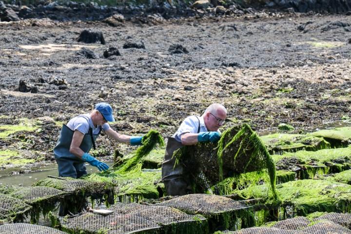 Arbeit in den Austernbänken