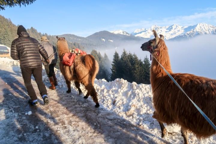 Lama-Trekking in den Sonnenuntergang am Kristberg