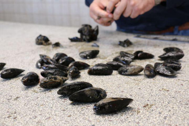 Vor der Auktion wird jede Muschel von Hand geprüft.
