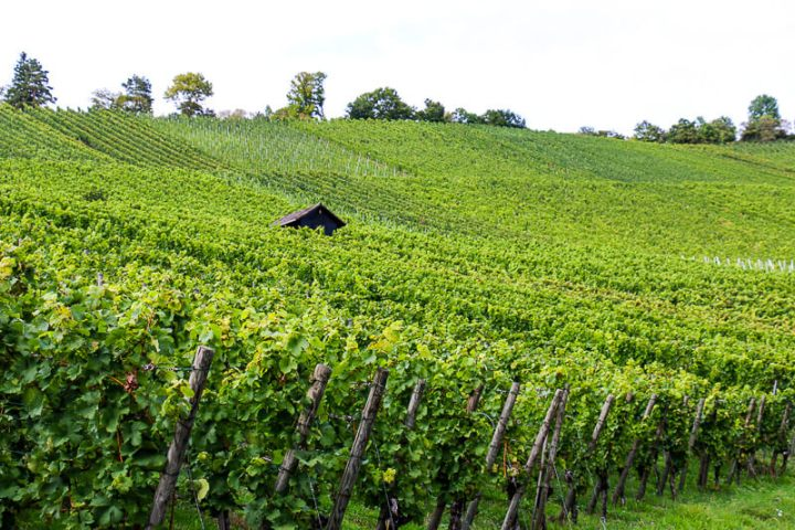 Weinberge Uhlbach/Rotenberg